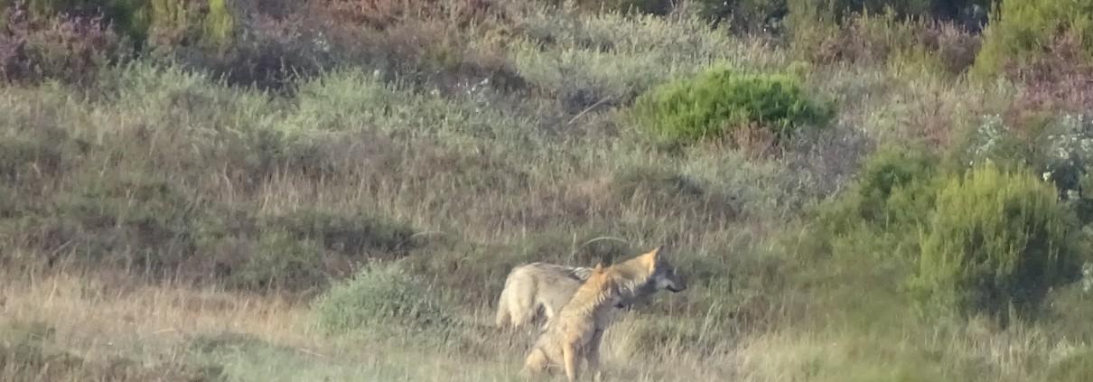 Lobo y loba juntos