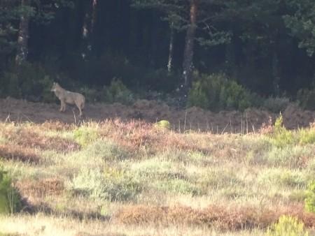 Lobo entrando en el pinar
